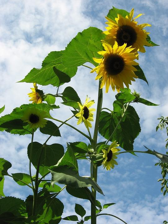 Sunflower, Yellow, Garden, Flowers