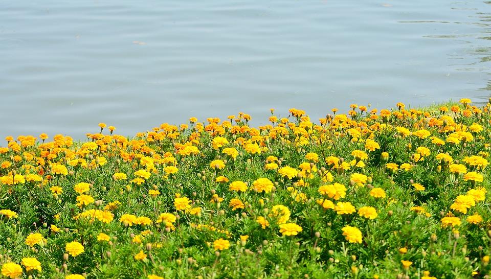 Flower, Garden, Nature, Water, Yellow, Beautiful