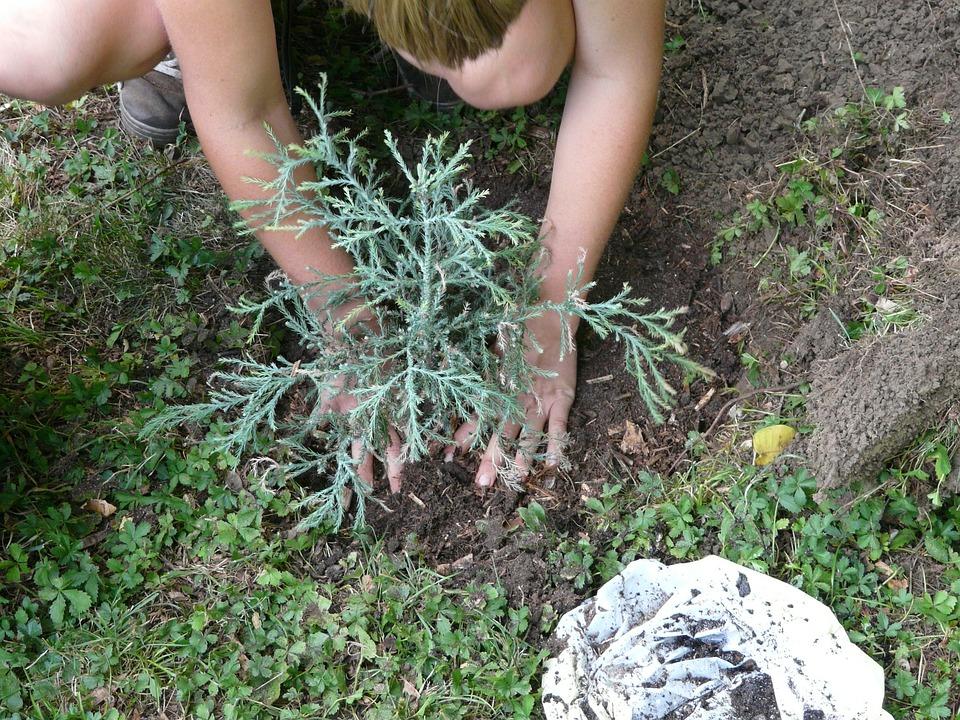 Gardener, Gardening, Garden, Tree, Plant, Sequoia
