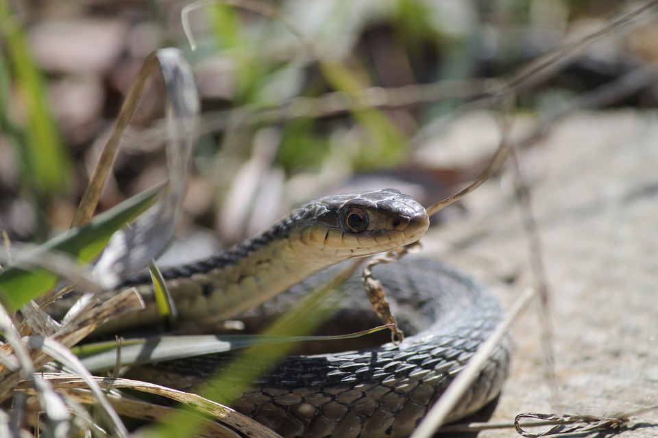 Snake, Reptile, Wildlife, Nature, Garter, Looking