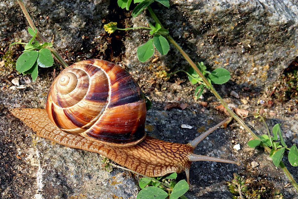 Snail, Gastropods, Cold-blooded Animals, Shell