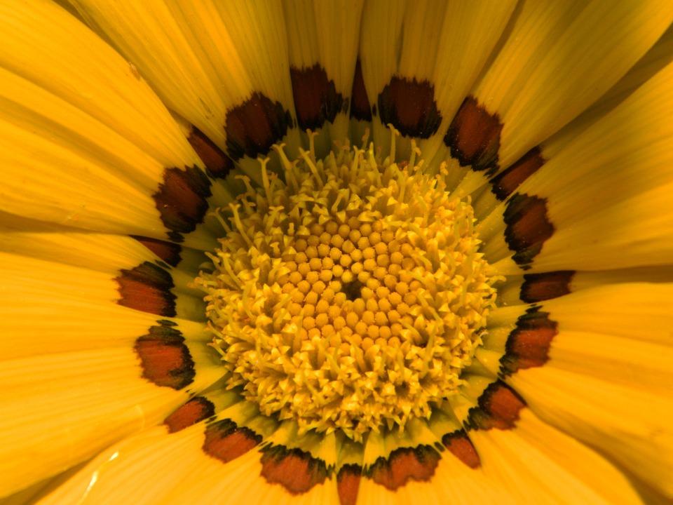 Gazania, Flower, Nature, Blossom, Bloom, Petals, Macro