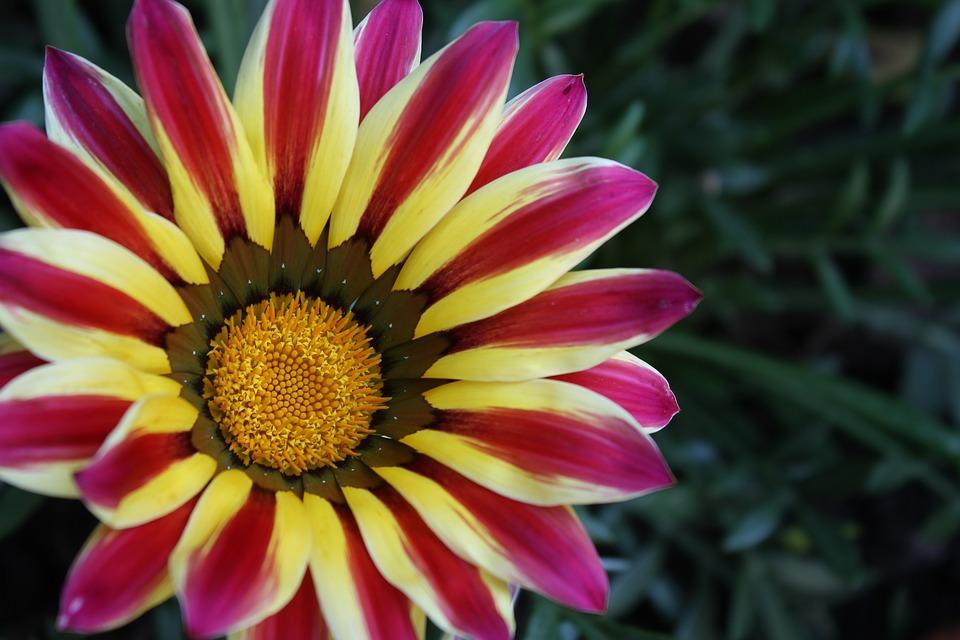 Flower, Gazania, Stamen, Nature, Asteraceae, Flora