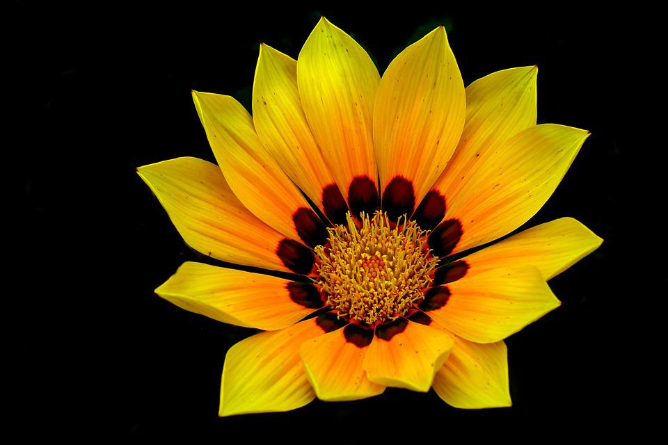 Gazania, Flower, The Background, Nature, Garden, Summer