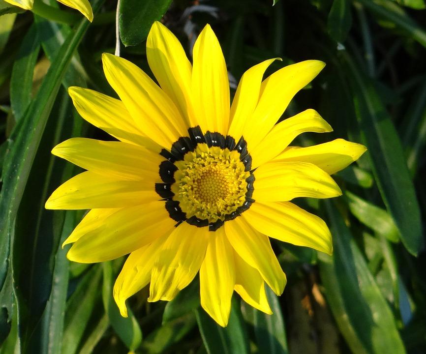 Gazania, Gazania Rigens, Asteraceae, Flower