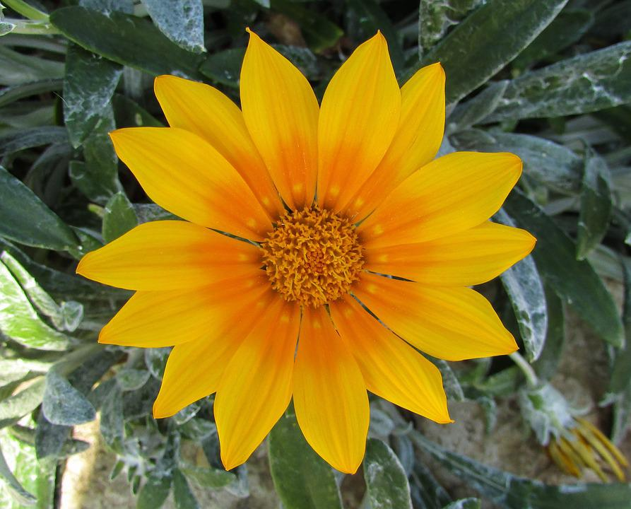 Gazania, Daisy, Flower, Yellow, Nature, Spring, Plant