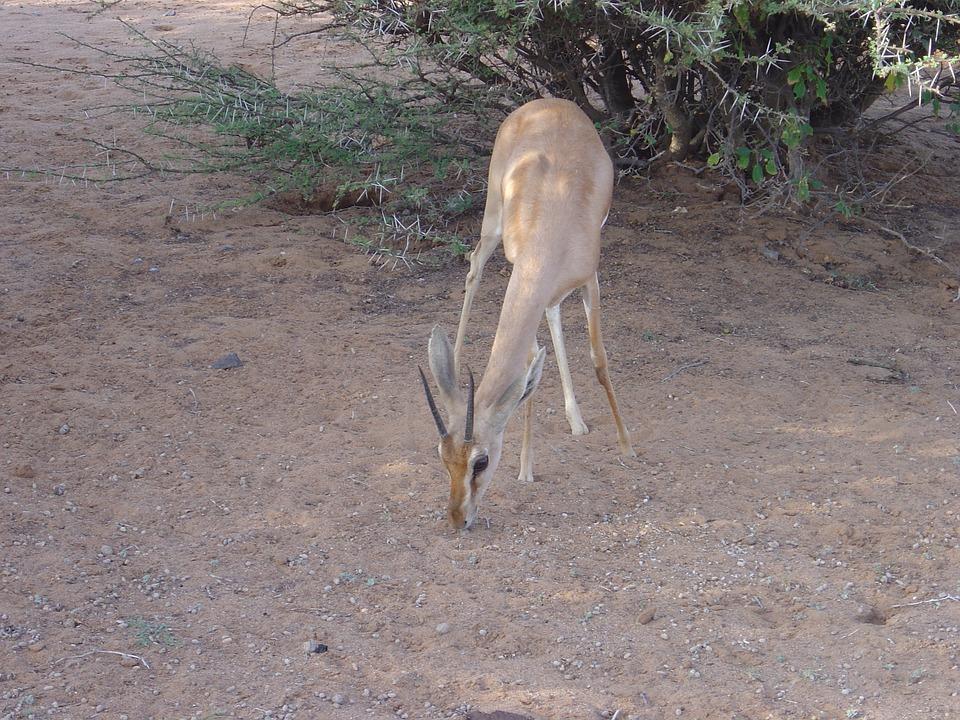 Wild Animals, Gazelle Dione, Djibouti, Africa
