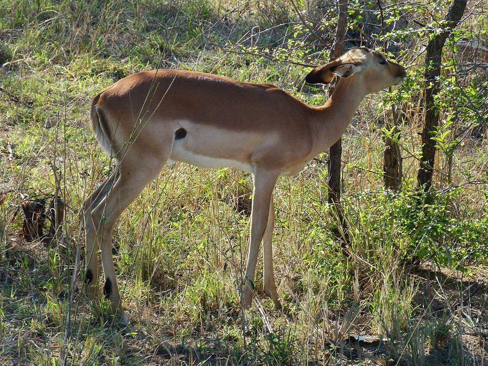 South Africa, Gazelle, Antelope, Steppe, Savannah