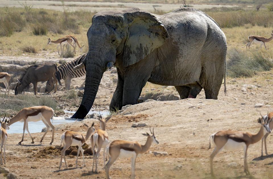 Elephant, Gazelle, Animals, Wild Life, Zebra
