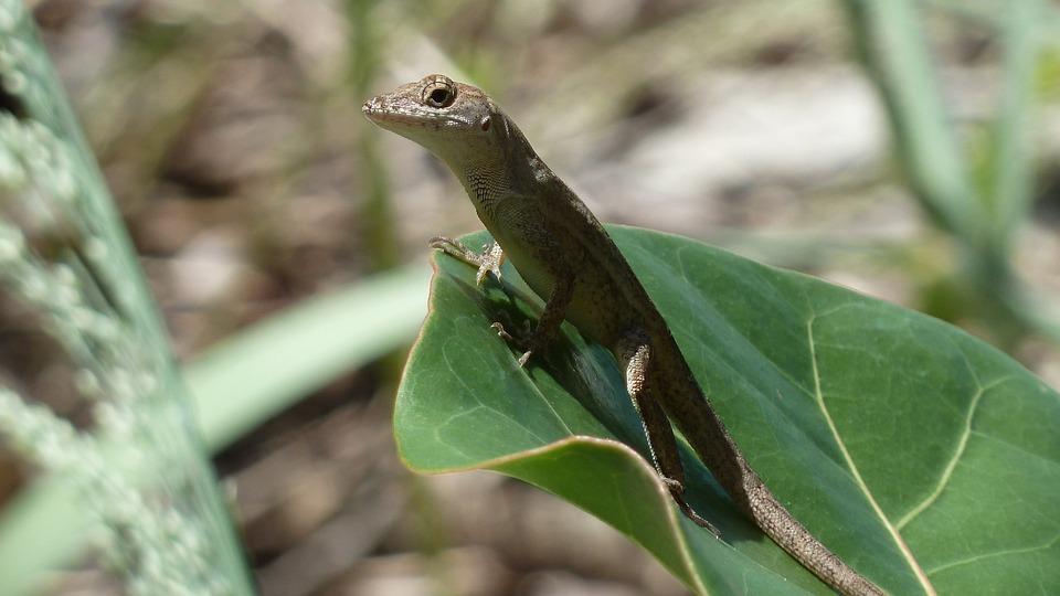 Gecko, Lizard, Close-up, Animal, Reptile, Wildlife
