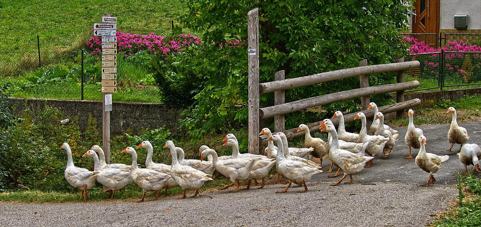 Geese, Single File, Poultry, Animals, Free Range