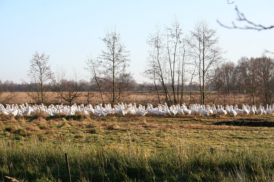 Geese, Goose Meadow, Nature, Animals