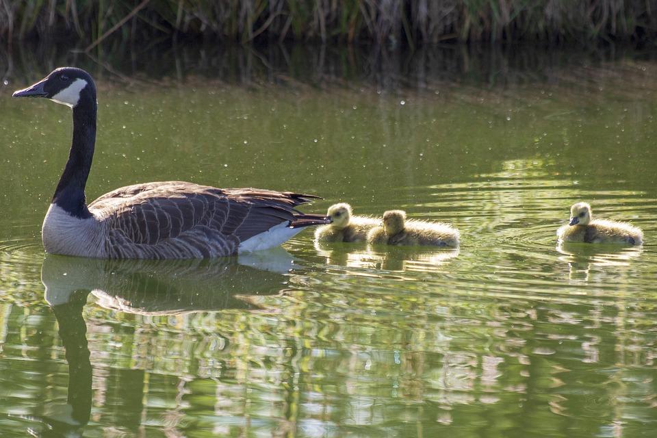 Goose, Geese, Goslings, Babies, Lake, Pond, Water
