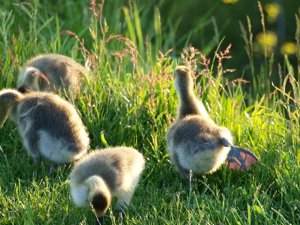 Geese, Bird, Young, Nature, Goose, Gosling, Baby