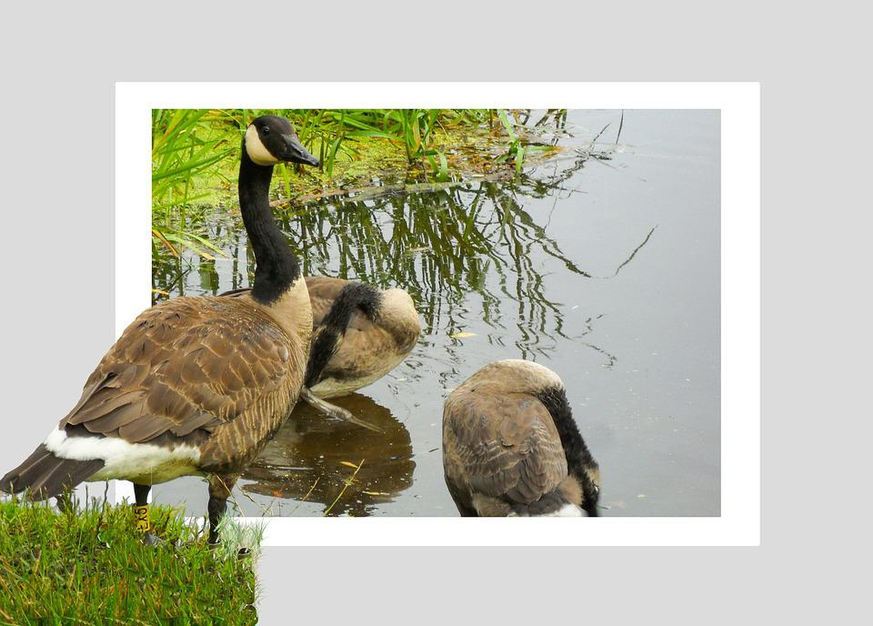 Geese, Pond, Poultry, Birds, Bill, Water Bird, Animal