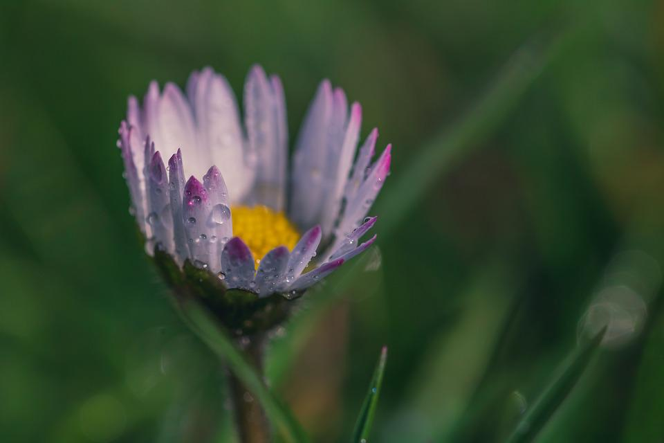 Geese Flower, Daisy, Bellis Philosophy, Drop Of Water