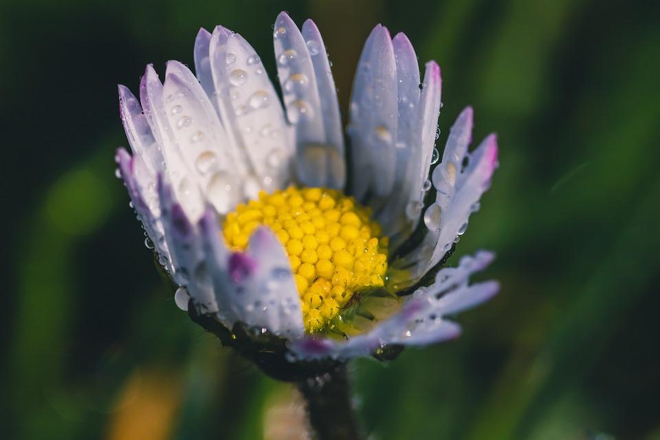 Geese Flower, Daisy, Bellis Philosophy, Dewdrop