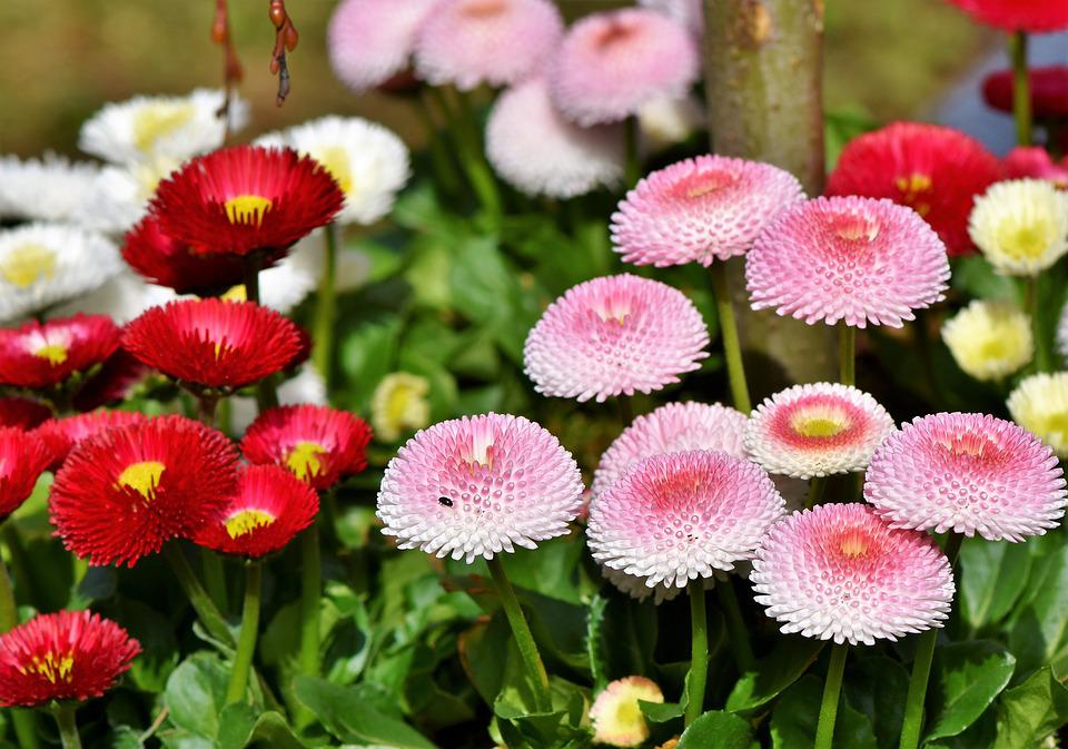 Daisy, Geese Flower, Spring, Flower, Colorful