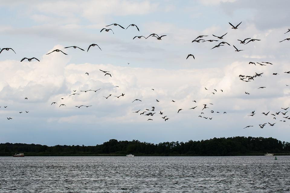Geese, Lake, Birds, Goose, Grey Geese, Water Bird, Fly
