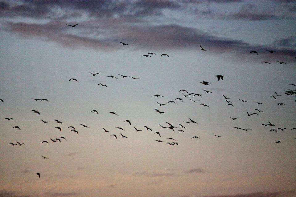 Birds, Fly Out, Geese