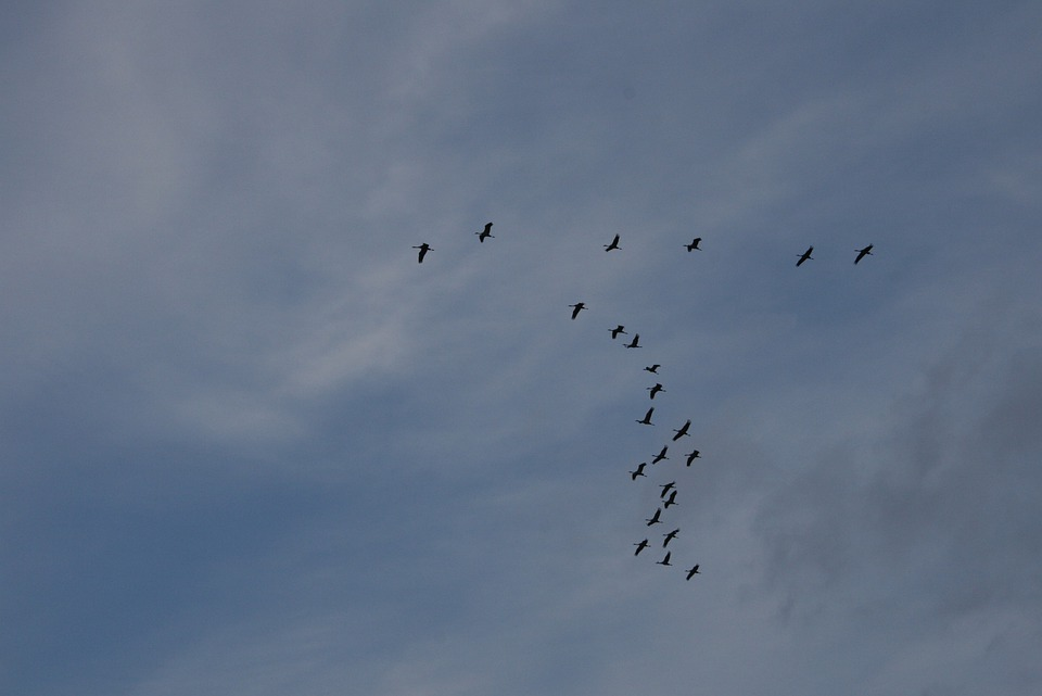 Birds, Geese, Flying, Flock, Wildlife, Flight