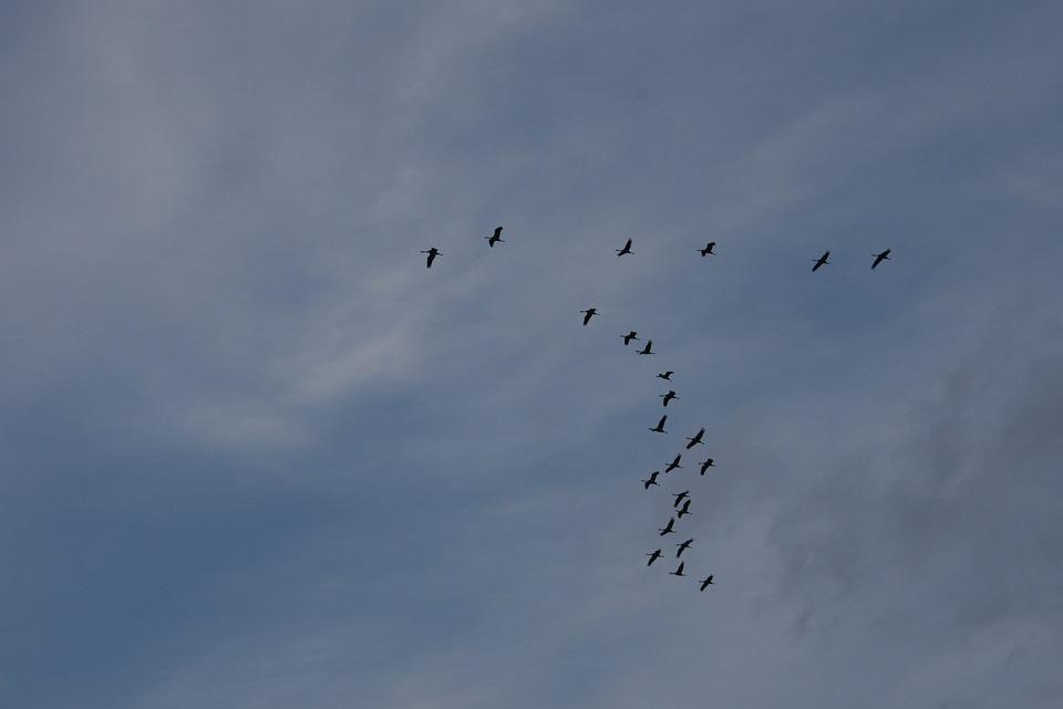 Birds, Geese, Flying, Flock, Wildlife, Flight