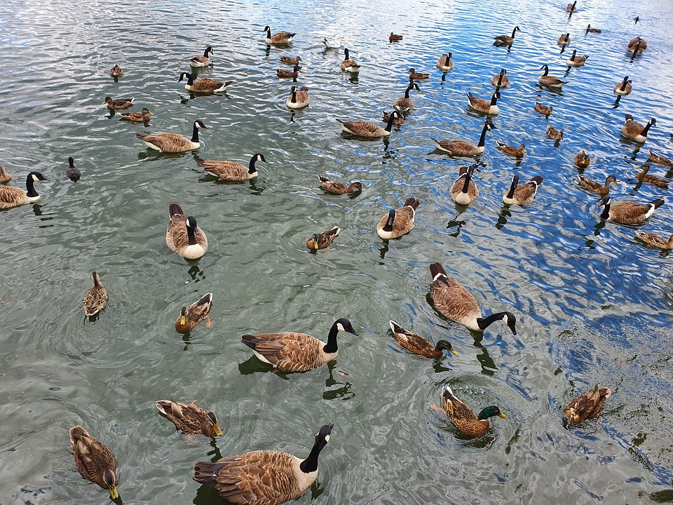 Ducks, Geese, Bird, Wings, Nature, Goose, Poultry