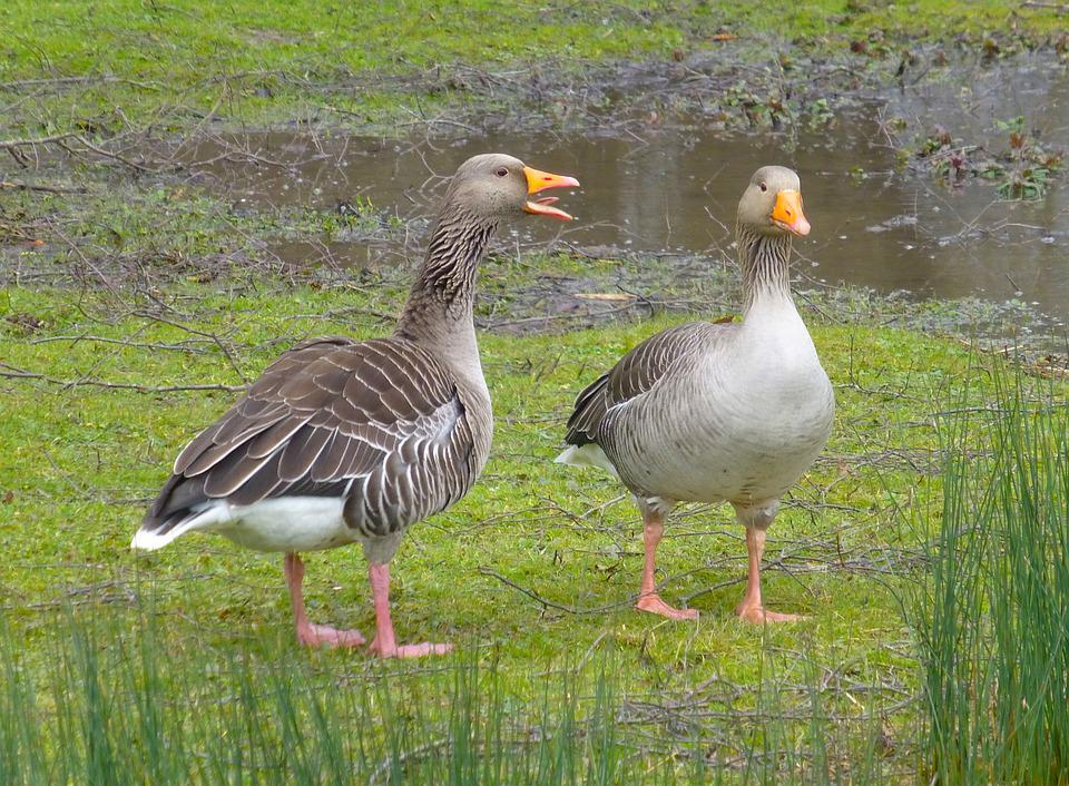 free photo geese goose nag animals waterfowl chat birds max pixel