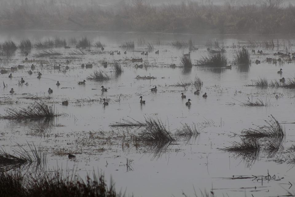 Ducks, Geese, Fog, Wetlands, River