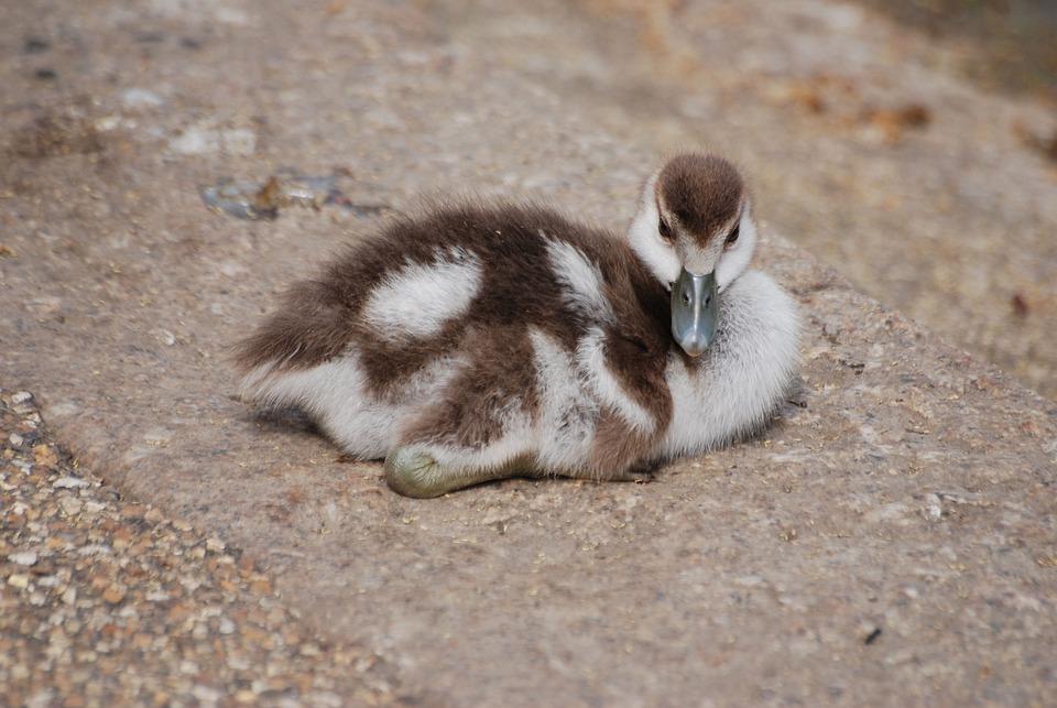 Geese, Waterfowl, Gosling, Chick, Bird