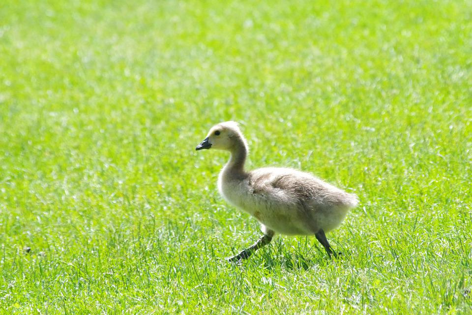 Animal, Baby, Geese, Bird, Wildlife, Young, Small