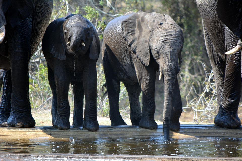 Baby Elephant, Wildlife, Trunk, Young, Generation