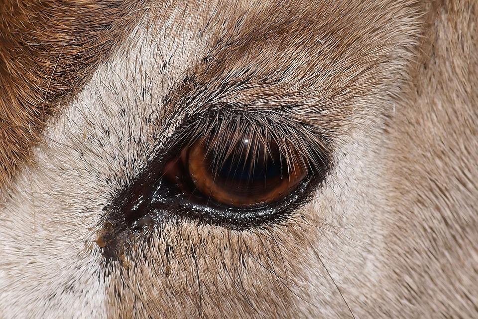 Animal, Eye, Addax, Close, Nature, Animal Eye, Gentle