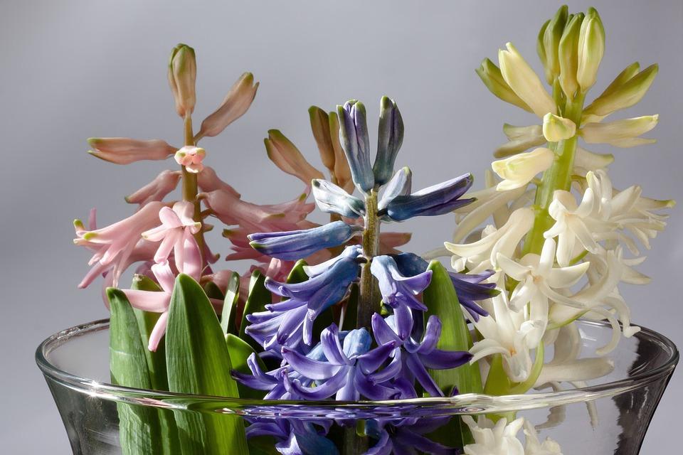 Hyacinth, Hyacinthus Orientalis, Genus