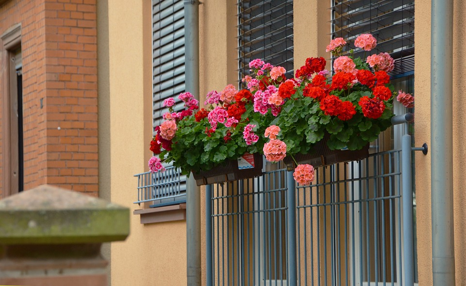 Balcony Plants, Geranium, Slope Geranien