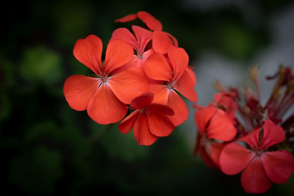 Geranium, Red, Blossom, Bloom, Flower, Balcony Flower