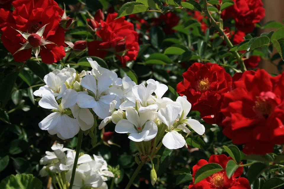Roses, Red, Bush, Flowers, White, Geranium, Contrast