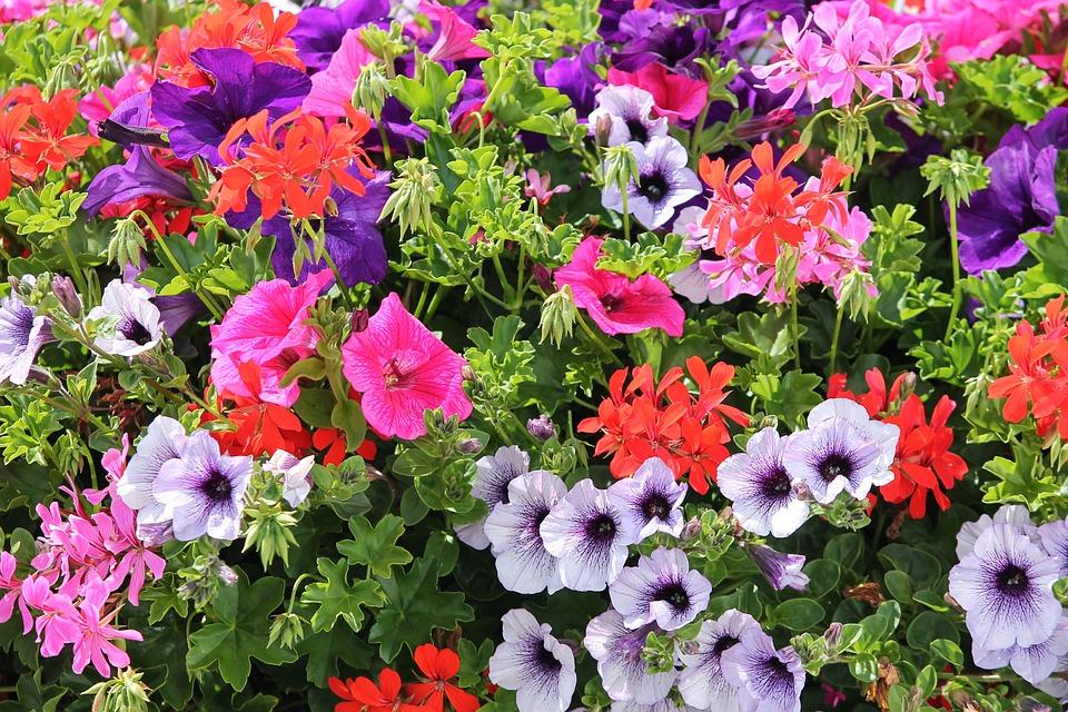 Colorful Flowers, Geranium, Petunia, Colorful