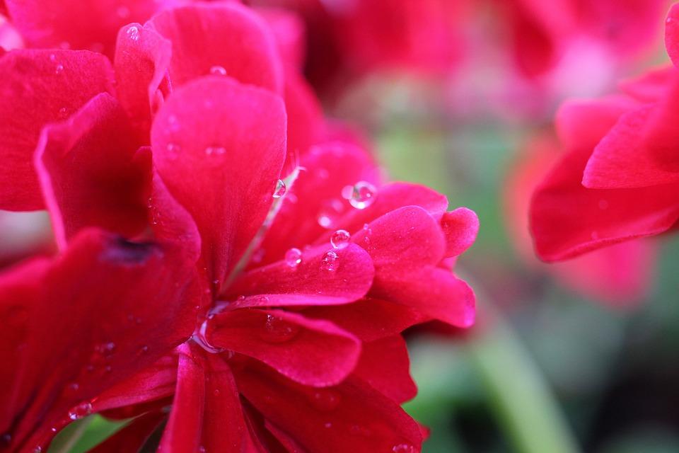 Geranium, Flower, Blossom, Bloom, Plant, Pink, Nature
