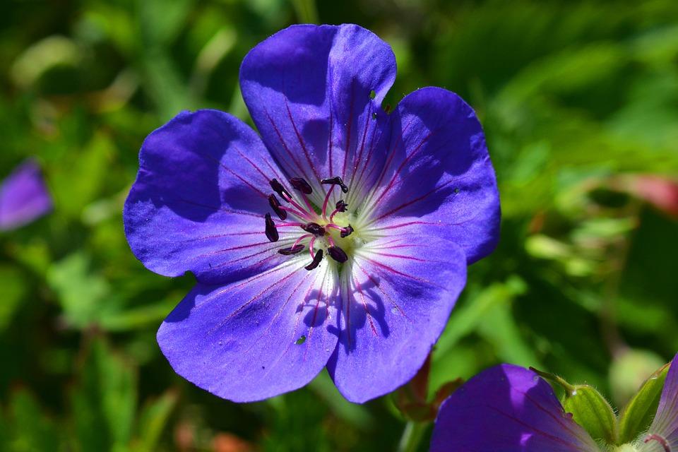 Cranesbill, Geranium, Blossom, Bloom, Blue, Flower