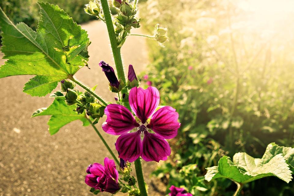 Meadow Cranesbill, Geranium, Flower, Purple, Bloom