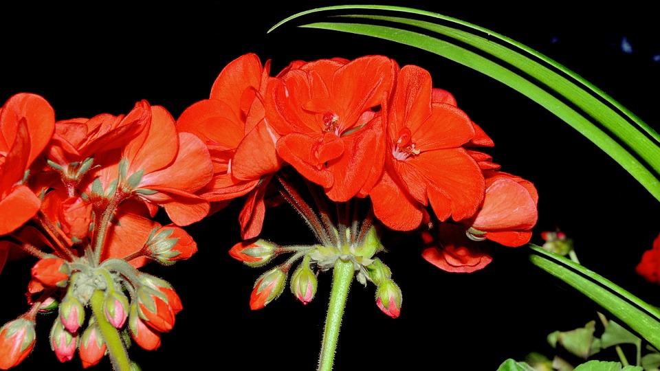 Geranium, Red, Flower