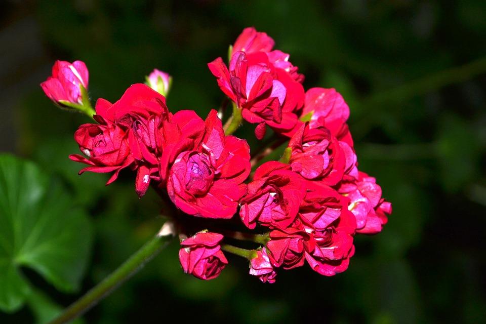 Flowers, Geranium, Beautiful Flower, Flower, Spring