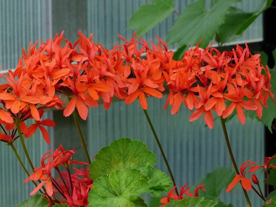 Geranium, Red, Flowers, Plant, Greenhouse, Green