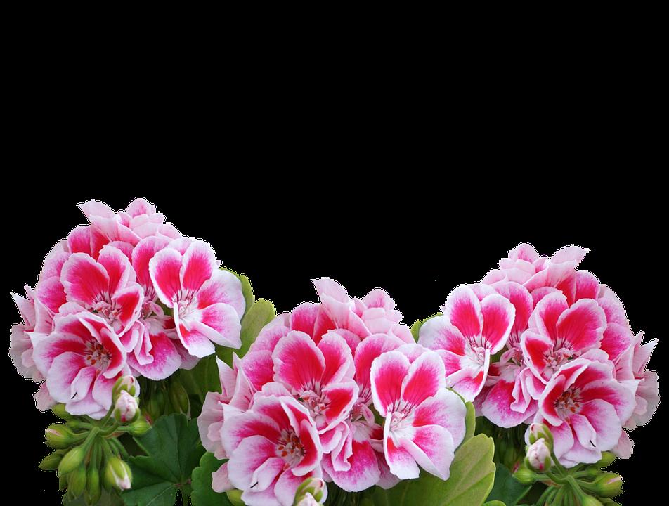 Geranium, Summer, Garden, Balcony Plant, Red, Flowers