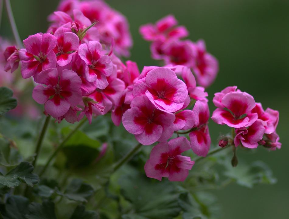 Geranium, Flower, Pink, Coloring, Hotchpotch
