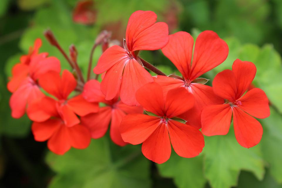 Red, Flower, Red Flower, Geranium, Plant, Blossom