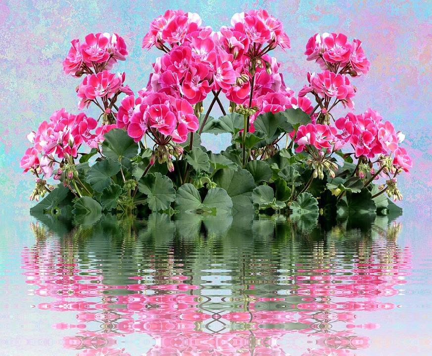 Geranium, Balkonblumen, Summer, Balcony Plant, Flower