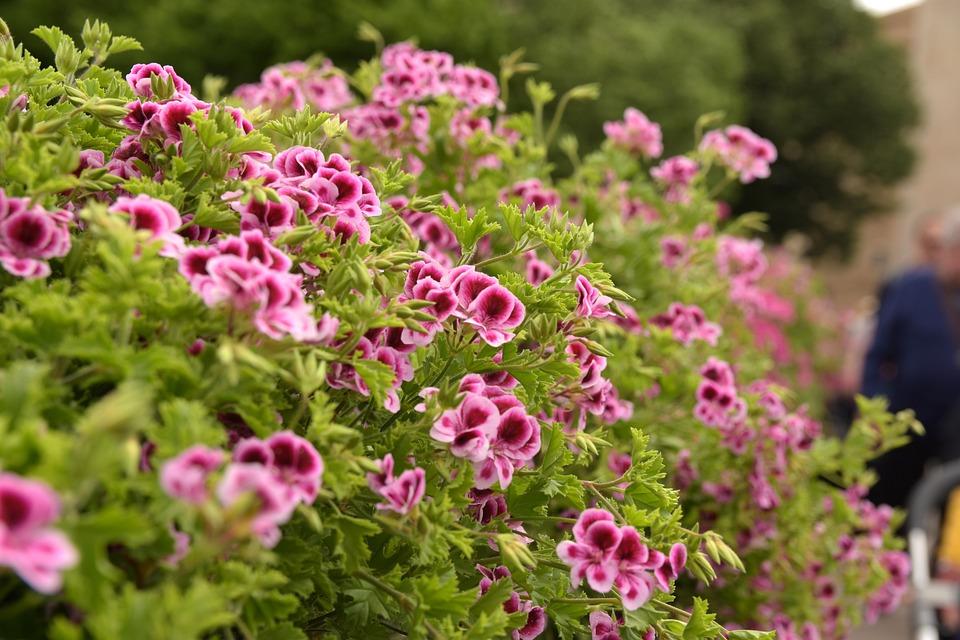 Geranium, Flowers, Colorful, Spring, Temps De Flors