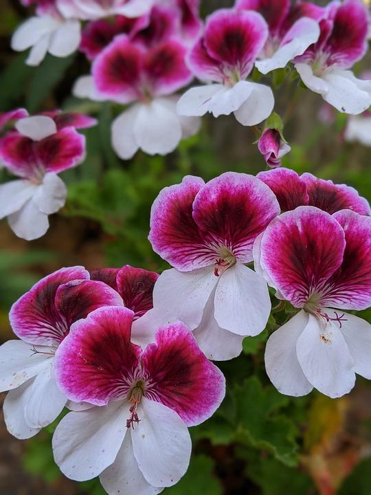 Geraniums, Pink Flowers, White Flowers, Flowers, Pink